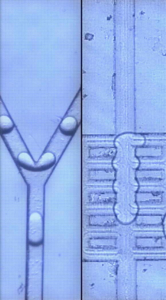 In Mikroreaktoren können die Systeme aus Enzymen, Bakterien und Nanomaterialien hochselektive Wirkstoffbausteine fortlaufend produzieren. (Bild, Screenshot des Videos: BIOCOM AG/BMBF)